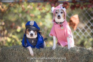 Pumpkin (right) re-defined our rescue a few years ago as the, um, underdog who overcame everything (hit by a car, starving, bad tail crop and, well, that adorable underbite) to be a high-flying agility queen. She has since brought home three other beautiful dogs, including beautiful cop Susie ... who has her OWN crazy rescue story with us.