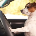 jack russell terrier, rescue, transport