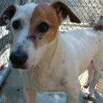 shortie, jack russell terrier, rescue, adoptable, hilton head
