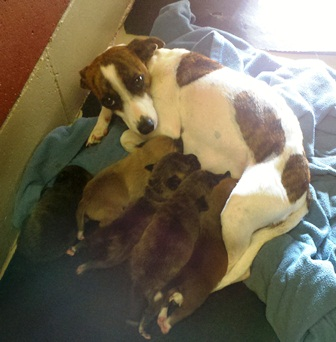 jack russell mom, puppies, rescue, adoptable