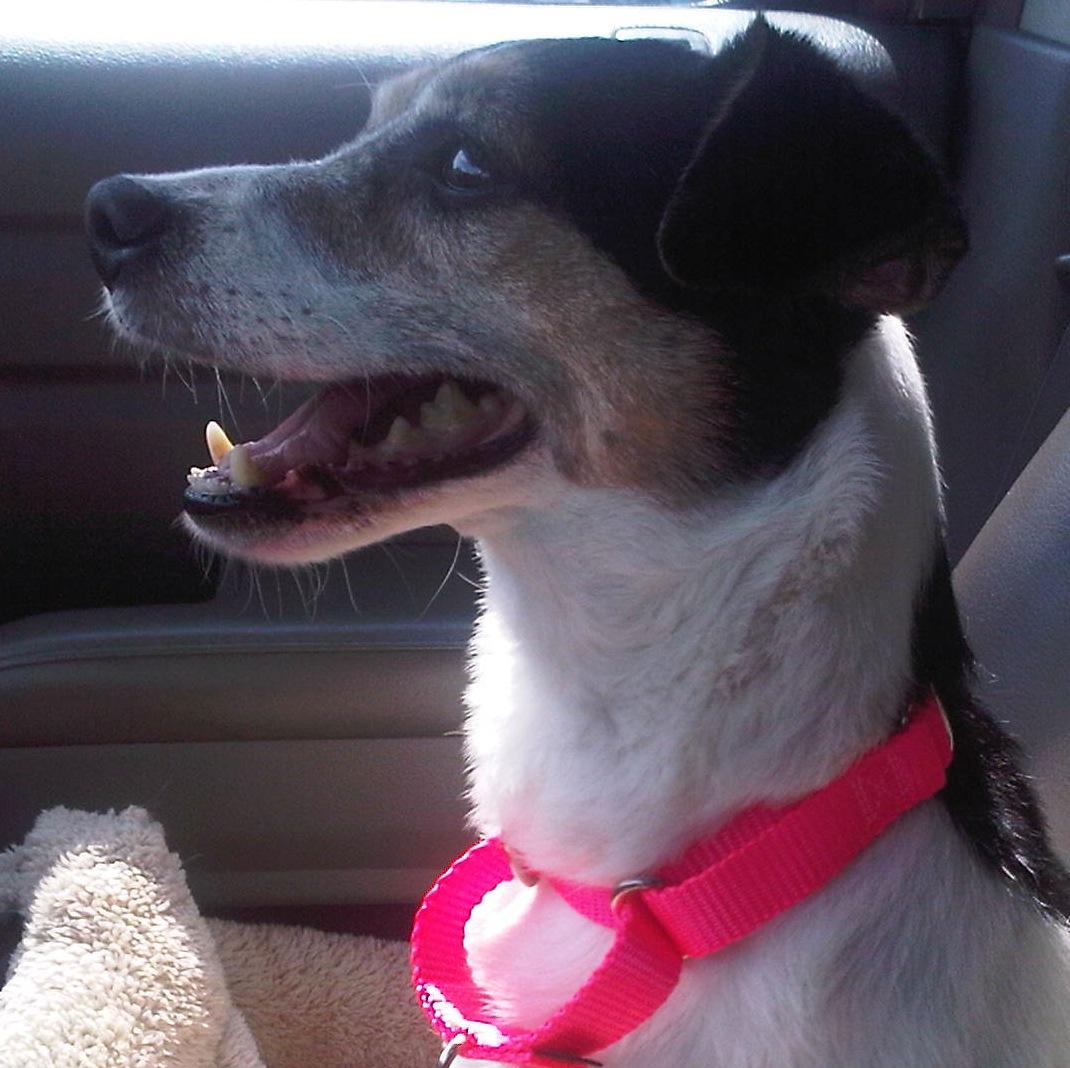 Fancy - Jack Russell/Rat Terrier rescue