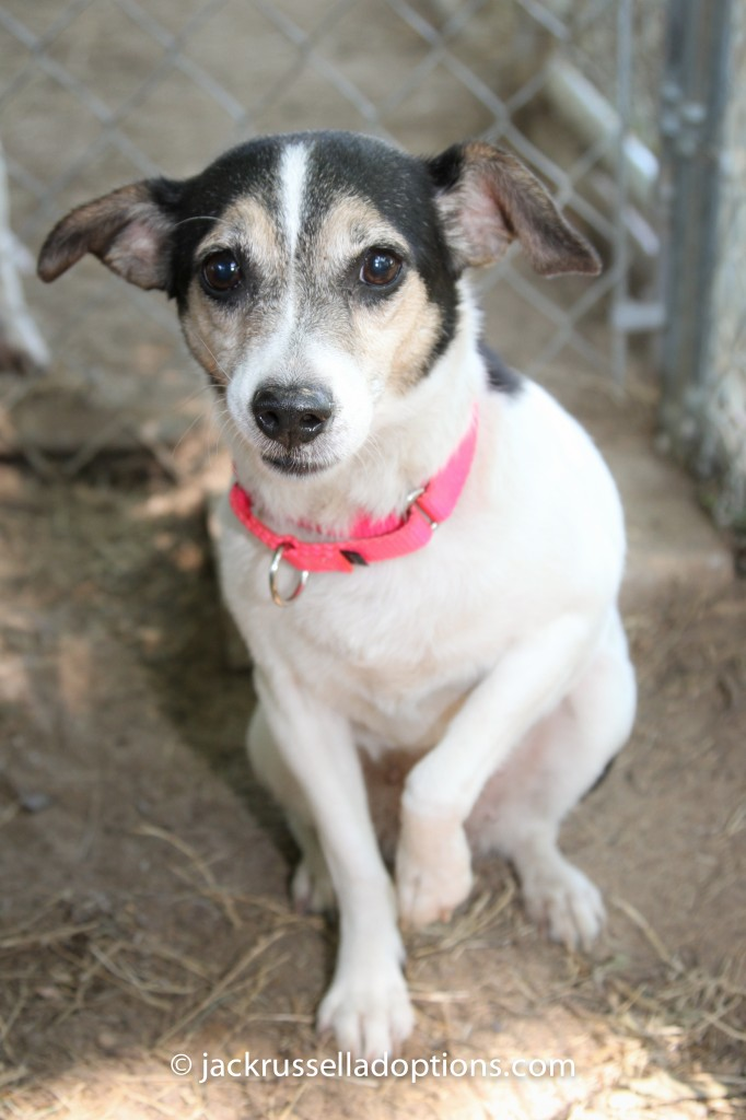 fancy, rescue, jack russell terrier, flu, adopted