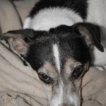 fancy, jack russell, sick, pneumonia, rescue needs help
