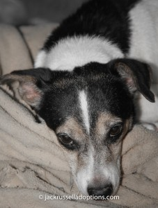 fancy, jack russell terrier, rescue, sick, pneumonia