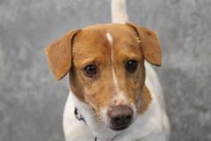 Skipper - Missing Jack Russell rescue in Anderson, South Caroline