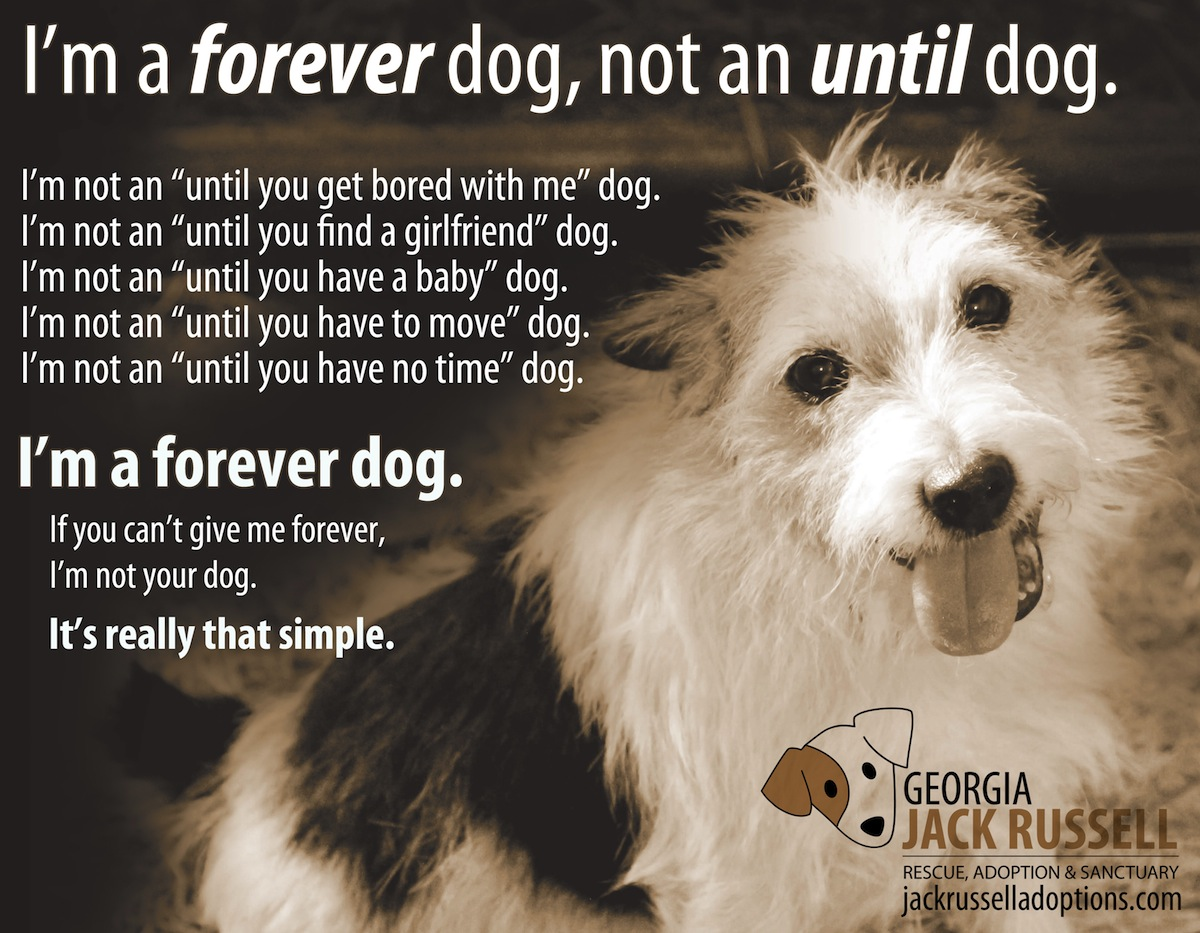 i 39 m a forever dog not an until dog georgia jack russell