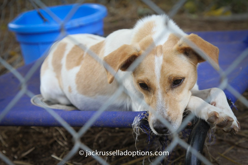 tasha, adoptable jack russell terrier, lying, donated, pet bed, ara program