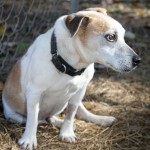 slick, jack russell terrier, infection, rescue, returned