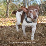 Harley, rescue, terrier, ear infection, ear surgery, rescue, donations