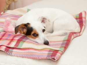 Blankets and other items needed for Jack Russells after hoarding bust.