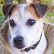 Slick, Jack Russell Terrier