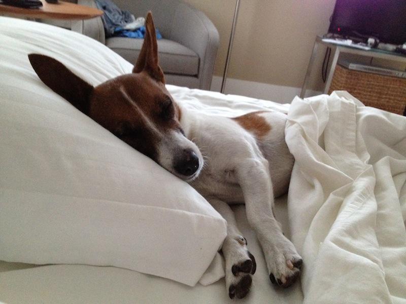 Resultado de imagen para jack russell sleeping with owner