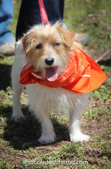 Former GA JRT rescue Cooper doing what she does best: Dressing up, being cute and giving kisses.