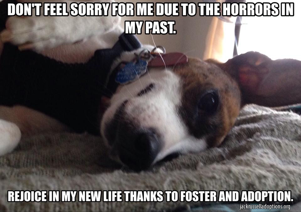 foster adopt jack russell jack russell rescue memes georgia jack russell rescue, adoption
