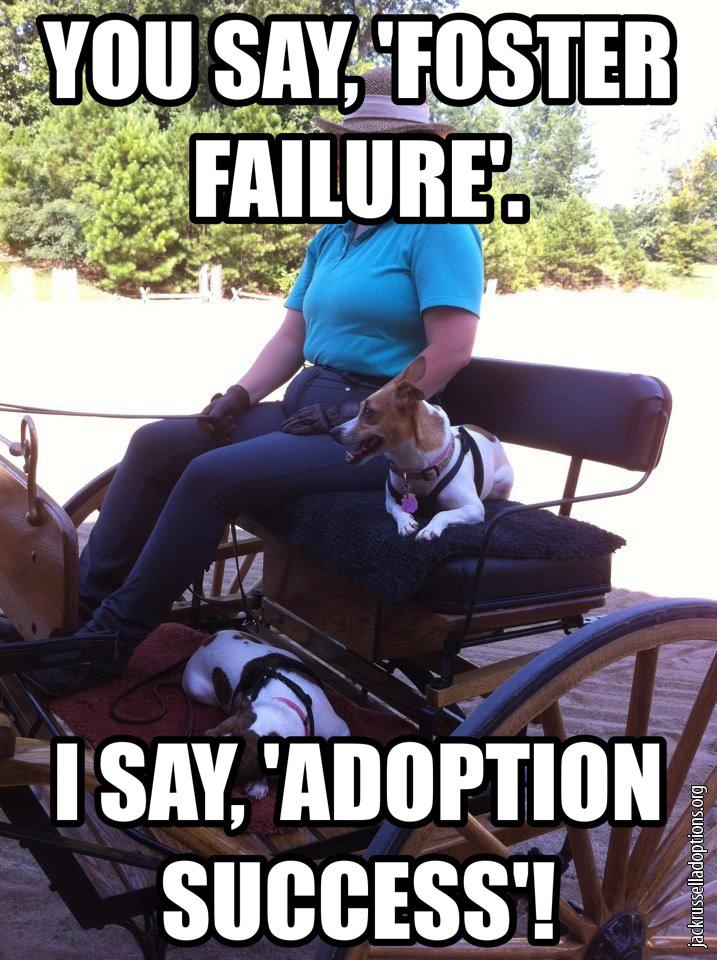 foster failure adoption success jack russell rescue memes georgia jack russell rescue, adoption