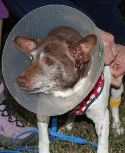 After ear canal surgery ... It hurt us as much as him ...