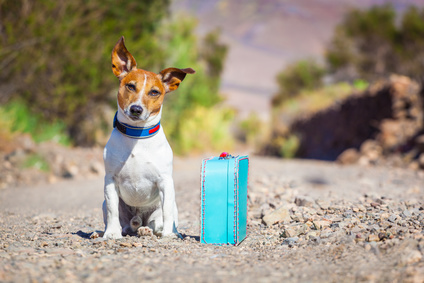 Jack Russell with suitcase