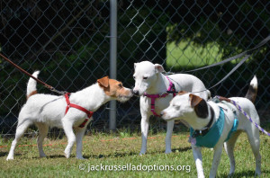 Georgia (middle), former GA JRT rescue puppy Pearl, is all grown up and beautiful!
