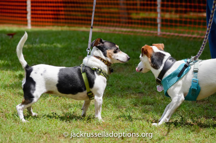 Former GA JRT rescue Pebbles came out with her family to say hello to everyone, including her former foster sister, Isis.