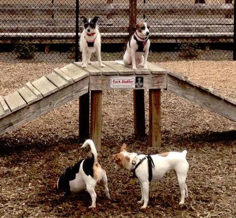 Penelope at the dog park with the gang