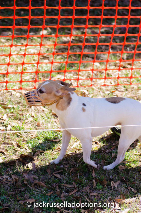 """Agility queen Pumpkin checking this race thing out ... """"Where's the hoop? The seesaw? That's sure a small tunnel at the end ..."""""""