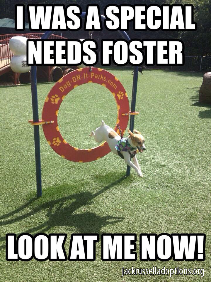 special needs foster jack russell jack russell rescue memes georgia jack russell rescue, adoption